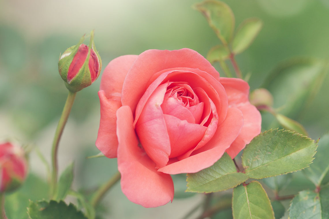 Rose close up - 5 Natural Ways to Ease Anxiety