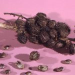 Castor oil beans - How to use castor oil for womb healing, immune support and scar tissue repair