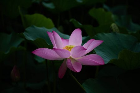 Pink Lilly - Return of Fertility