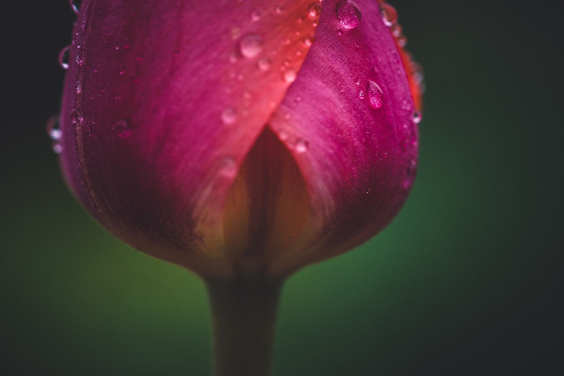 closed rose bud - Guide to Safe Menstrual Products